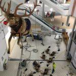 Det lackar mot jul – men Rudolf lackar ur